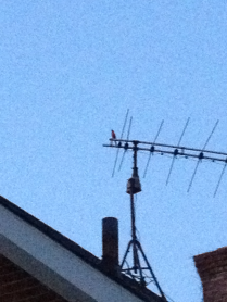 A Cardinal on the wire
